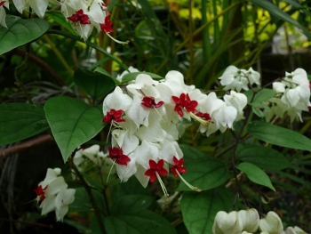 fl_clerodendr_thoms1.jpg